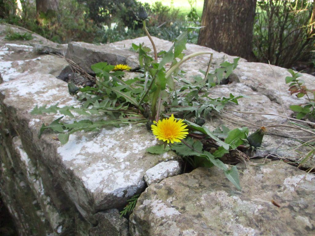 Danu's Irish Herb Garden - Spring Intentions and Brigid's Day